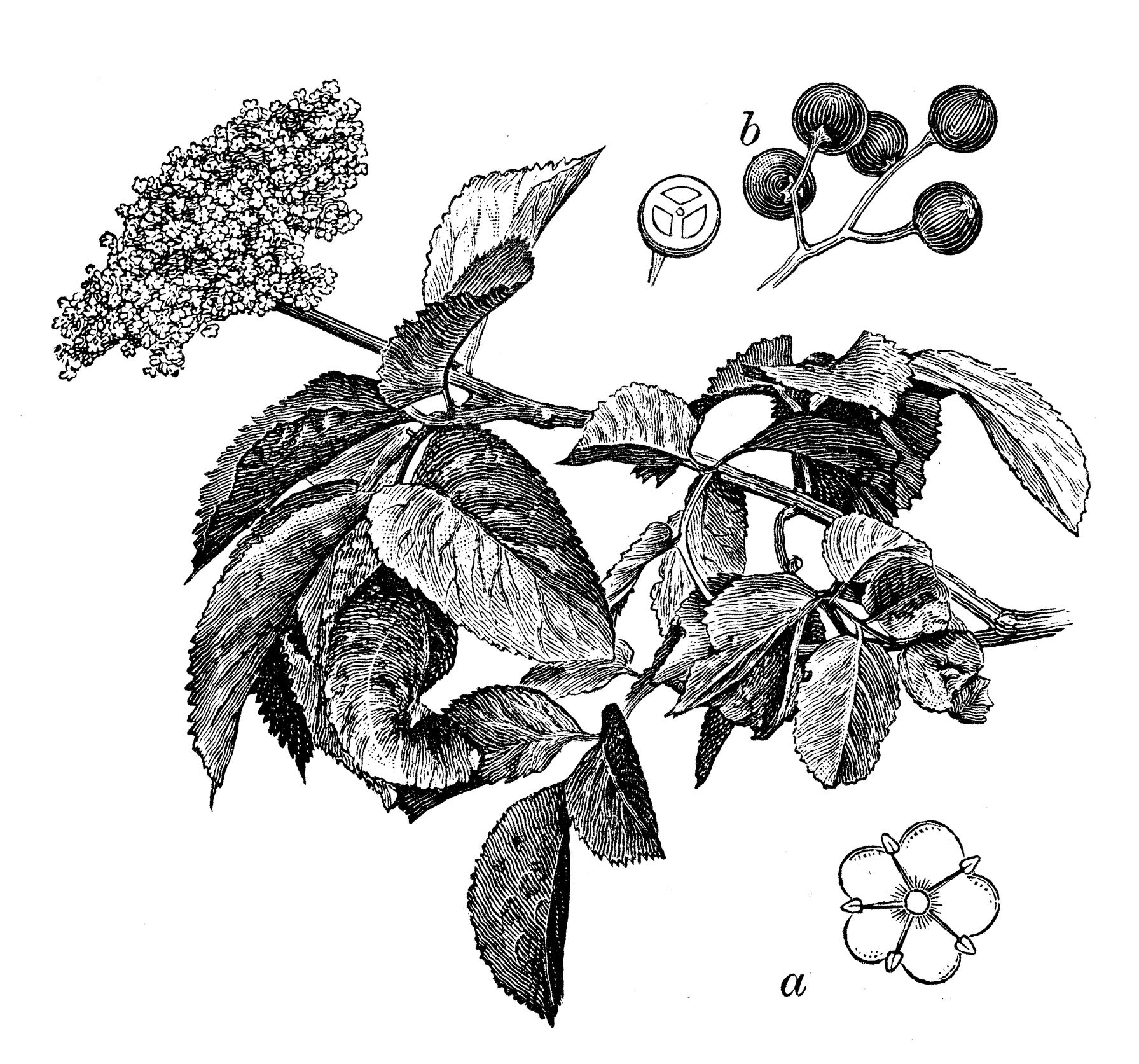 Illustration of elderberry leaves, elderberry bark, and elderberries