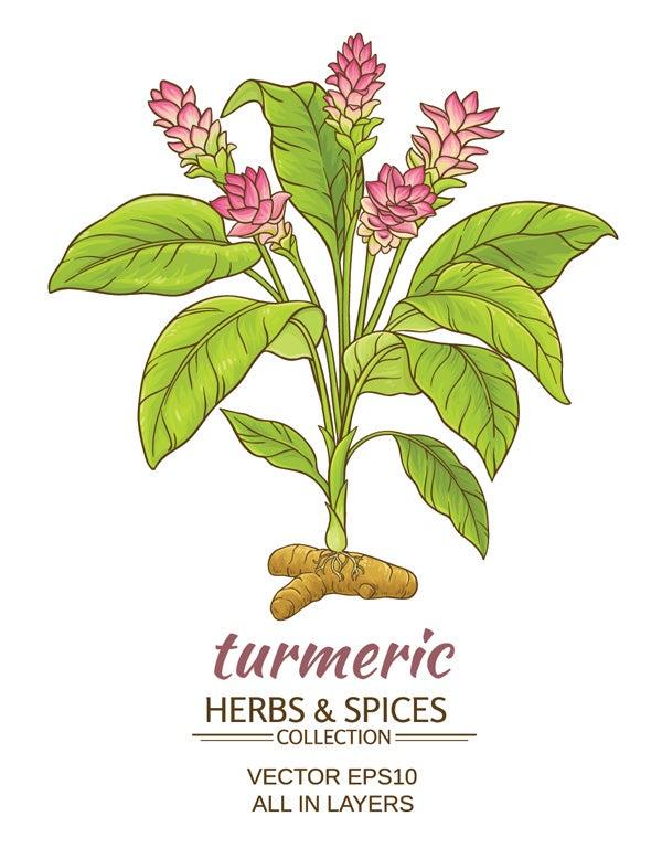 Illustration of a Turmeric Plant